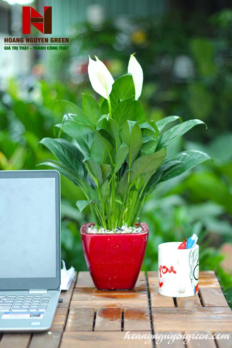 Cây lan Ý Thái Chậu Sơn Vuông Đỏ