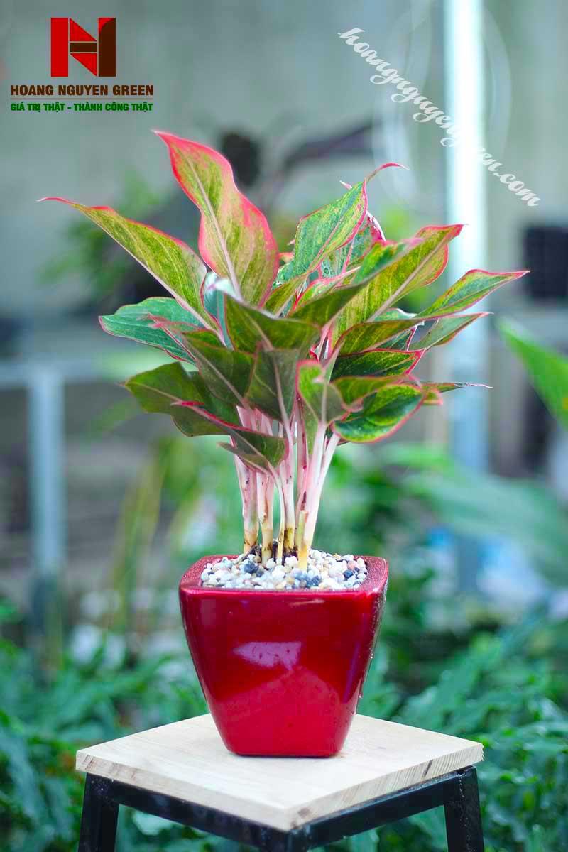 Cây Phú Quý Chậu Sơn Vuông Đỏ