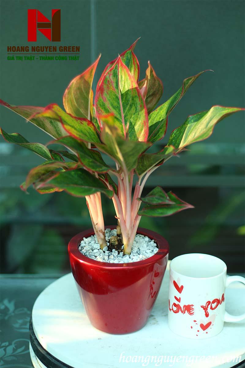 Cây Phú Quý Chậu Sơn Tròn Bầu Đỏ
