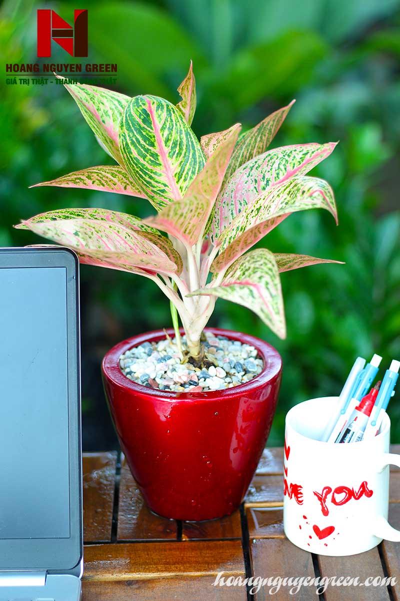 Cây Thịnh Vượng Chậu Sơn Tròn Bầu Đỏ