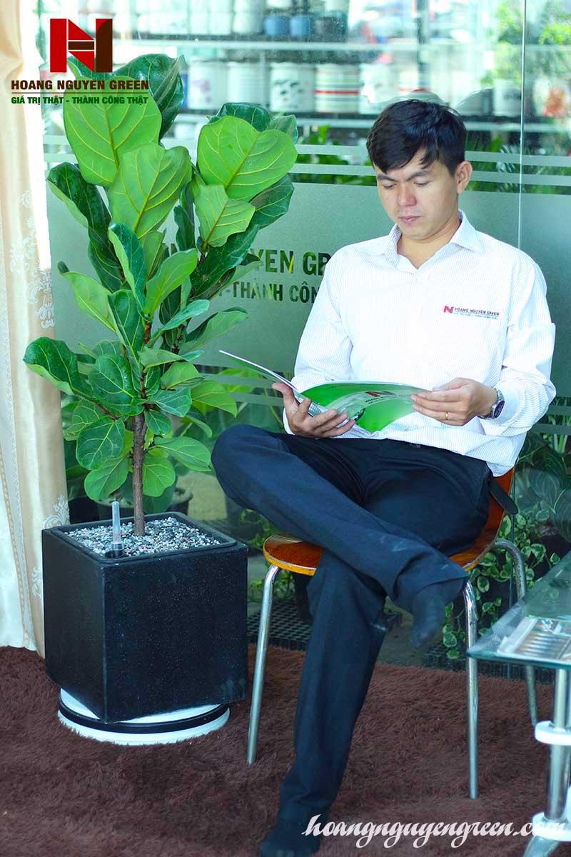 Cây Bàng Singapore Chậu Đá Mài Vuông 32 x 32 đen
