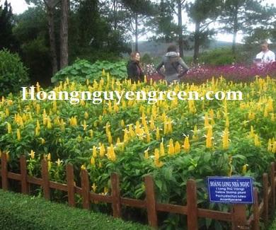 Hoa Hoàng Long Ngọc